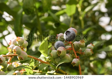 Beautiful blueberry fruits in clusters. Ripening fruits in clusters hang in clusters against a background of green healthy bushes. #1448903969