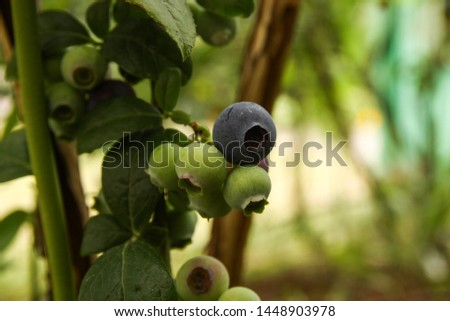 Beautiful blueberry fruits in clusters. Ripening fruits in clusters hang in clusters against a background of green healthy bushes. #1448903978