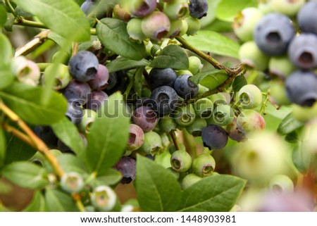 Beautiful blueberry fruits in clusters. Ripening fruits in clusters hang in clusters against a background of green healthy bushes. #1448903981