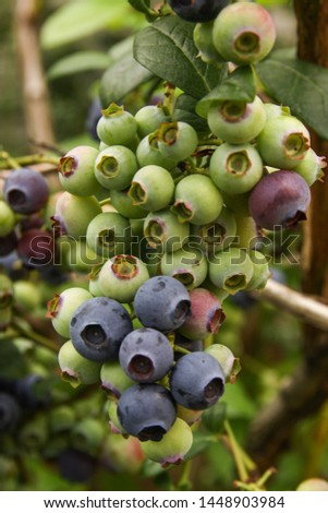 Beautiful blueberry fruits in clusters. Ripening fruits in clusters hang in clusters against a background of green healthy bushes. #1448903984
