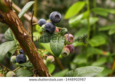 Beautiful blueberry fruits in clusters. Ripening fruits in clusters hang in clusters against a background of green healthy bushes. #1448903987