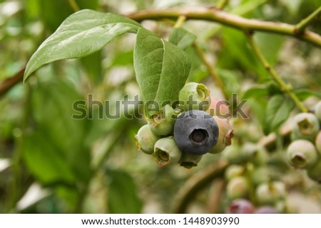 Beautiful blueberry fruits in clusters. Ripening fruits in clusters hang in clusters against a background of green healthy bushes. #1448903990