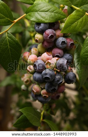 Beautiful blueberry fruits in clusters. Ripening fruits in clusters hang in clusters against a background of green healthy bushes. #1448903993