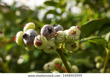 Beautiful blueberry fruits in clusters. Ripening fruits in clusters hang in clusters against a background of green healthy bushes. #1448903999