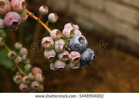 Beautiful blueberry fruits in clusters. Ripening fruits in clusters hang in clusters against a background of green healthy bushes. #1448904002