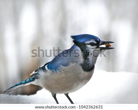 Beautiful bluejay bird - corvidae cyanocitta cristata - standing on white snow eating morsel, facing right