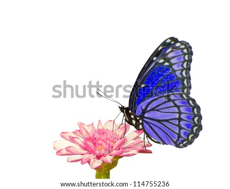 Beautiful bluish purple butterfly feeding on a pink flower; isolated on white