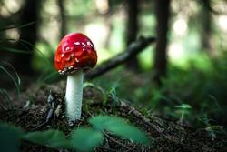 Beautiful blurred background red toadstool mushroom in the forest grass. Toadstool mushroom is a very dangerous mushroom.