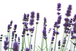 Beautiful blurred lavenders with white background.