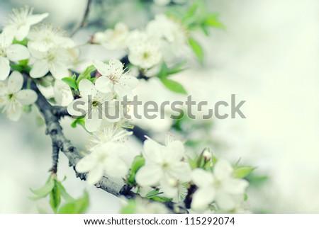 Beautiful blurred sakura flowers in the morning. cross processing