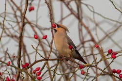 Beautiful Bohemian waxwing that is eating berries, photographed in the Netherlands.