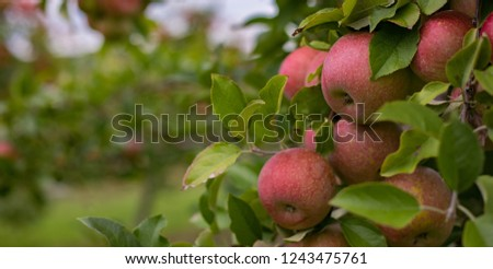 Beautiful bokeh photo of an apple orchard perfect for a simple background. #1243475761