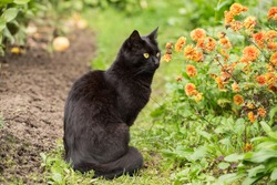 Beautiful bombay black cat sits in garden with flowers. Outdoors, nature