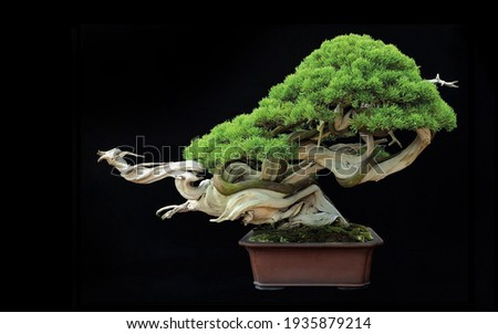 Beautiful Bonsai Tree of Japanese botanical miniature art. Сток-фото ©