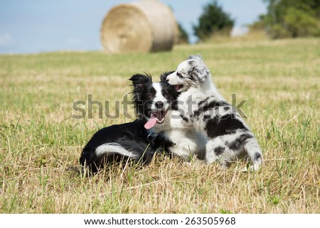 Beautiful Border Collie and puppy playing in the meadow