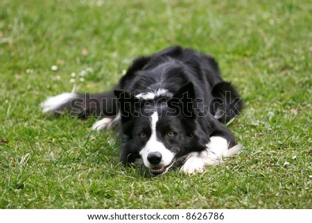 Beautiful border collie lying on the grass - stock photo