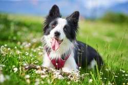 Beautiful Border Collie puppy portrait