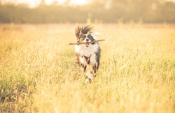 Beautiful border collie running in the grass. concept about animals and dogs