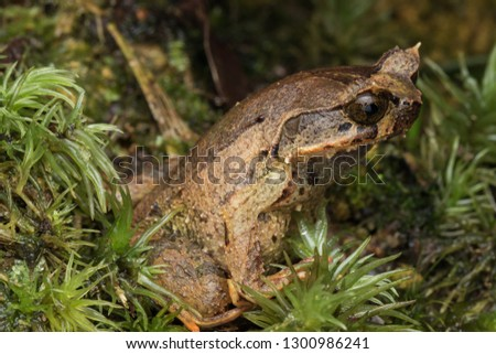Beautiful Borneo Horn frog, Borneo Horn frog, Close-up of Borneo Horn Frog #1300986241
