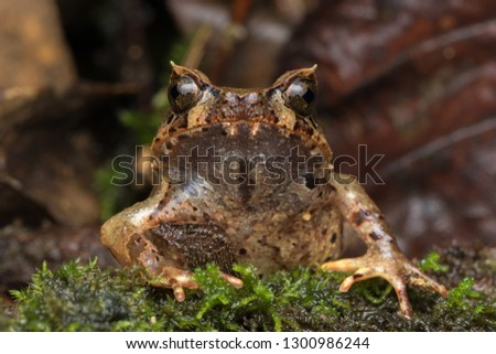 Beautiful Borneo Horn frog, Borneo Horn frog, Close-up of Borneo Horn Frog #1300986244
