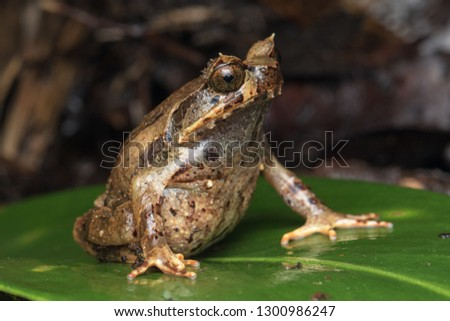 Beautiful Borneo Horn frog, Borneo Horn frog, Close-up of Borneo Horn Frog #1300986247