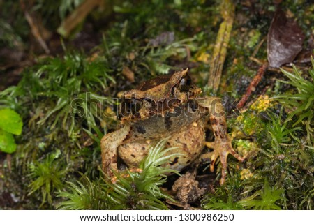 Beautiful Borneo Horn frog, Borneo Horn frog, Close-up of Borneo Horn Frog #1300986250