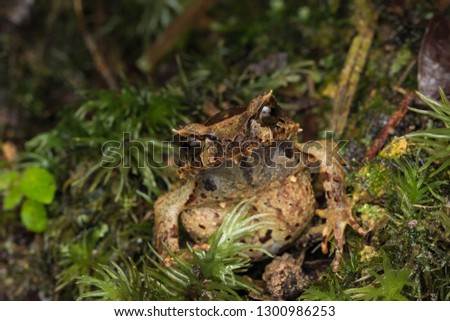 Beautiful Borneo Horn frog, Borneo Horn frog, Close-up of Borneo Horn Frog #1300986253