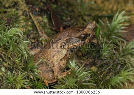 Beautiful Borneo Horn frog, Borneo Horn frog, Close-up of Borneo Horn Frog #1300986256