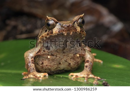 Beautiful Borneo Horn frog, Borneo Horn frog, Close-up of Borneo Horn Frog #1300986259