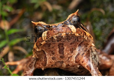 Beautiful Borneo Horn frog, Borneo Horn frog, Close-up of Borneo Horn Frog #1307451244