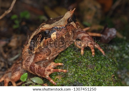 Beautiful Borneo Horn frog, Borneo Horn frog, Close-up of Borneo Horn Frog #1307451250