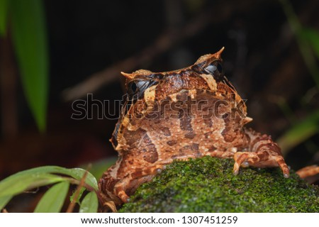 Beautiful Borneo Horn frog, Borneo Horn frog, Close-up of Borneo Horn Frog #1307451259