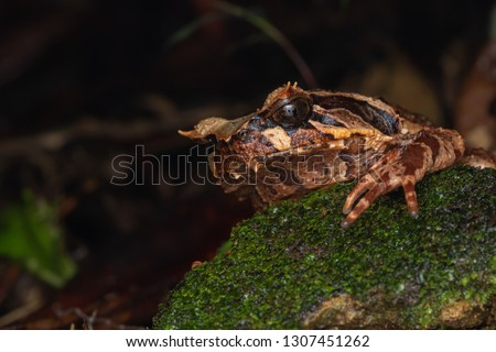 Beautiful Borneo Horn frog, Borneo Horn frog, Close-up of Borneo Horn Frog #1307451262