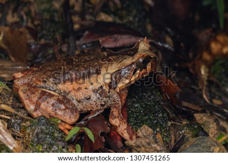 Beautiful Borneo Horn frog, Borneo Horn frog, Close-up of Borneo Horn Frog #1307451265