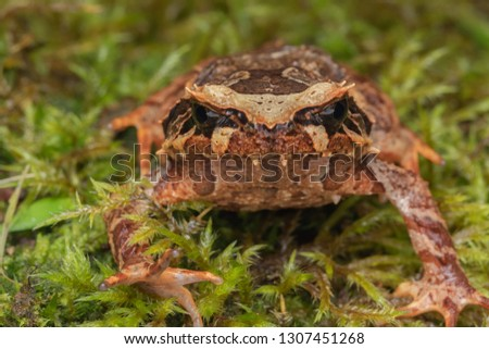 Beautiful Borneo Horn frog, Borneo Horn frog, Close-up of Borneo Horn Frog #1307451268