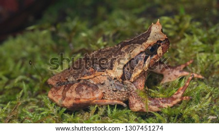 Beautiful Borneo Horn frog, Borneo Horn frog, Close-up of Borneo Horn Frog #1307451274