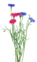 Beautiful bouquet of colorful cornflowers isolated on a white background. Blue and pink cornflowers.