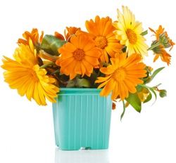 beautiful bouquet of flower calendula officinalis in color plastic flowerpot Isolated on white background