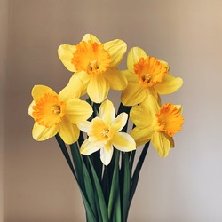 Beautiful bouquet of fresh yellow daffodil flowers in full bloom in vase against white background, close up. Space for text. Spring blossoms. Still life with bunch of narcissuses.