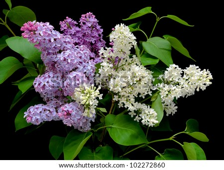 beautiful bouquet of lilacs in different colors on a black background close up