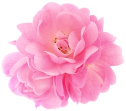Beautiful bouquet of pink rose flowers isolated on white background.
