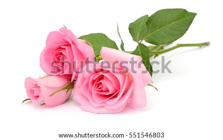 beautiful bouquet of pink rose flowers isolated on white background #551546803