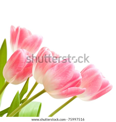 Beautiful bouquet of pink tulips on a white background.