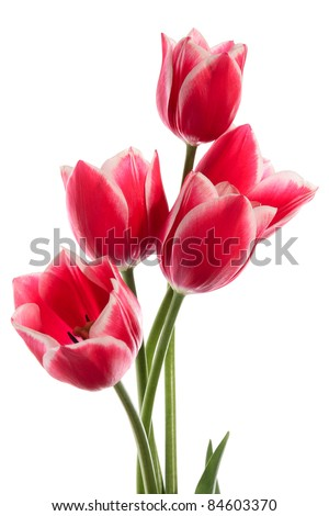 Beautiful bouquet of tulips on a white background - stock photo