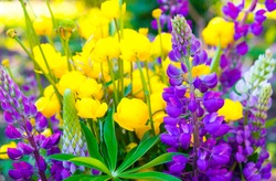 Beautiful bouquet of wildflowers. Buttercups and lupins