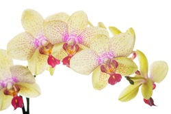 Beautiful bouquet of yellow orchid flowers. Bunch of luxury tropical yellow orchids - phalaenopsis - with pink dots isolated on white background. Studio shot.