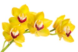 Beautiful bouquet of yellow orchid flowers. Bunch of luxury tropical yellow-pink orchids - phalaenopsis - isolated on white background. Studio shot.