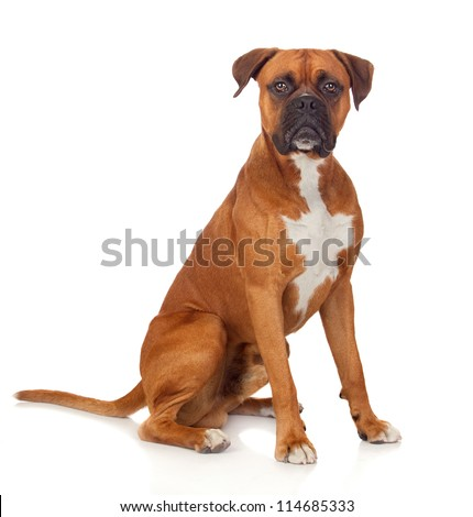 beautiful boxer dog isolated on ...