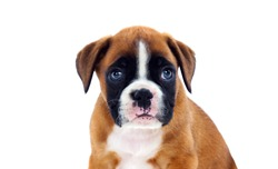 Beautiful boxer puppy with blue eyes looking at camera isolated on a white background