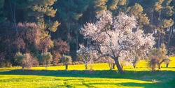 Beautiful branch of almond tree blossoms in spring